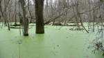 Algae Covered Pond