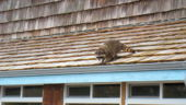 Raccoon on the Kalaloch Lodge