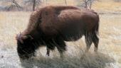 Buffalo Graze