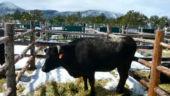 Twenty K Cow